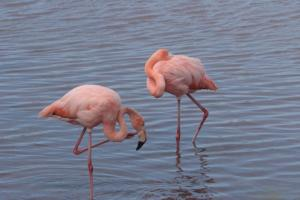 Flamingos on Floreana
