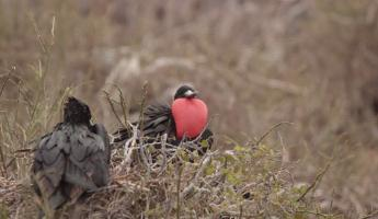 Frigate bird on North Seymour