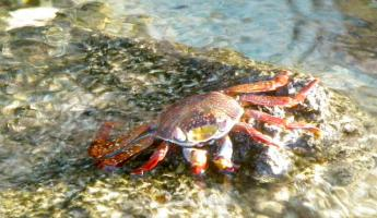Crab in the Galapagos