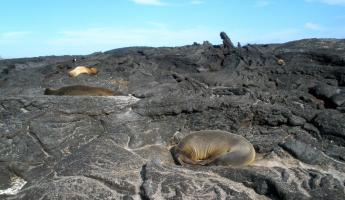 Sea Lions on the Lava
