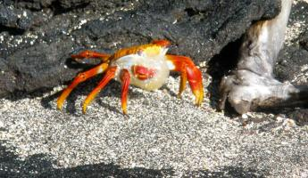 Molting crab
