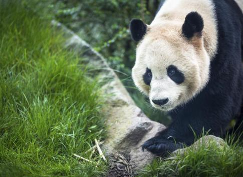 Giant panda at the research base in Chengdu