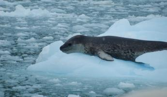 The fearsome Leopard Seal