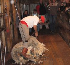 Sheering a sheep in Calafate
