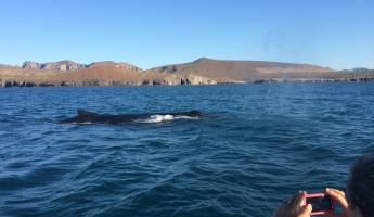 Humpback whales in the Sea of Cortez