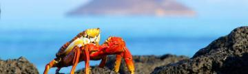 Sally light-foot crab crawling on the beach