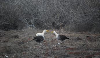 Adult Waved Albatrosses doing the mating dance.