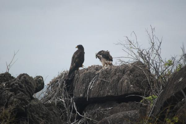Galapagos Hawk and chick