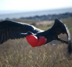 Male Frigatebird showing off his red neck for the ladies