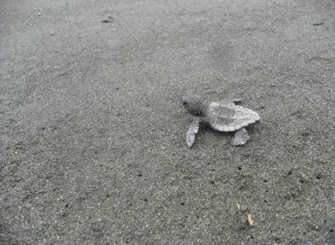 Baby sea turtle at Corcovado National Park