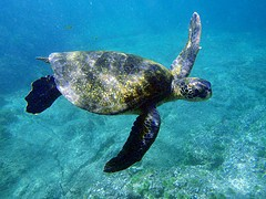 Swiming with the Green Sea Turtles