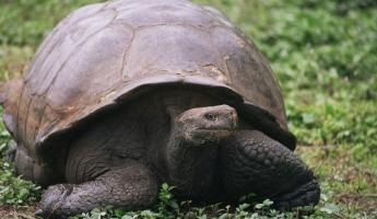 Galapagos tortoises can live to be more than 100 years old!