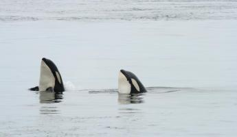 A pair of spyhopping orcas