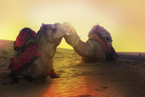Camels laying down in the sunset