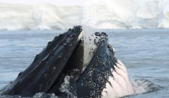 A humpback whale feeds on krill in Antarctic waters
