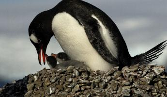 A mother penguin comforts her chicks