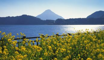 Rape-blossom field by lake and Mt. Kaimon, Kagoshima prefecture
