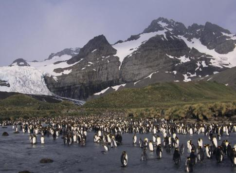 Colony of penguins at Gold Harbor