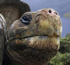 Galapagos Tortoise close up