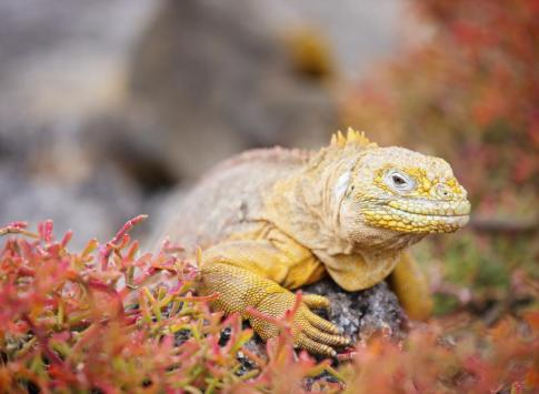 Colorful land iguana
