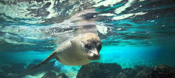 Sea lion encounter while snorkeling