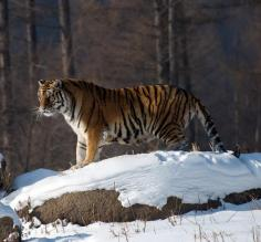 Tiger on a snowy rock