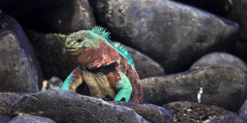 A colorful marine iguana