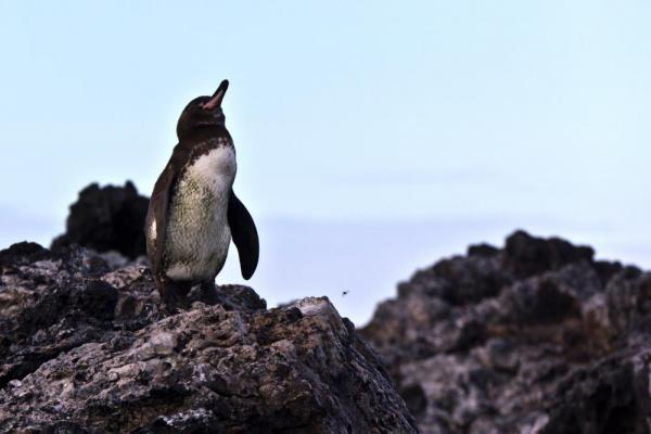 A Galapagos Penguin Catching some sun
