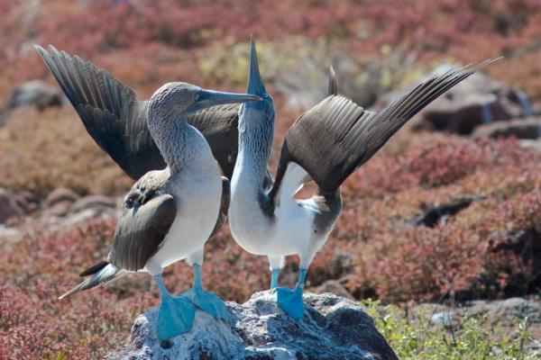 Blue-footed booby friends