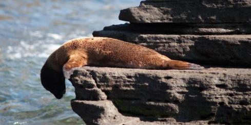 Sea lion looking off a rock