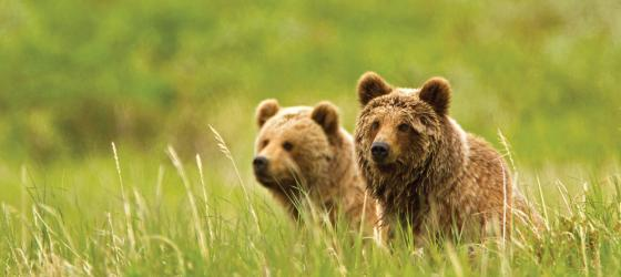 Two Kamchatka brown bears enjoy the view