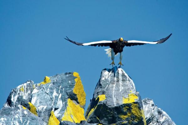 Kamchatka-Stellar Sea Eagle
