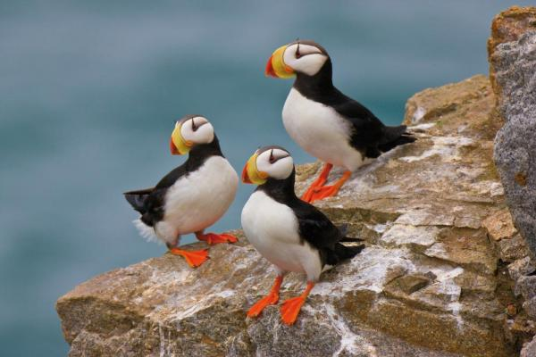 Horned Puffins along the Kamchatka coast