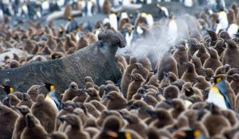 An elephant seal trumpets in the midst of King Penguin chicks