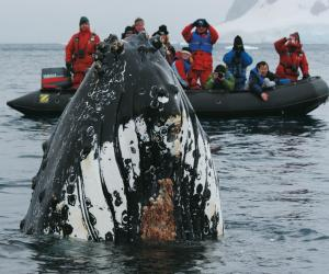 A humpback surfaces close to our zodiac