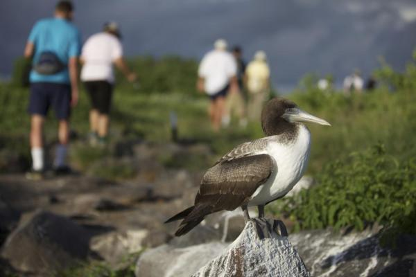 Young Nazca Booby with hikers