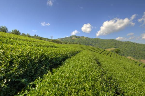 Tea Plantation at Doi Mae Salong in Chiang Rai