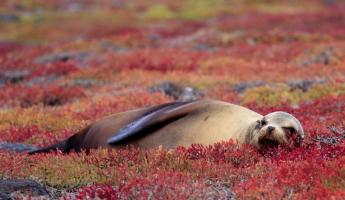 Sea Lion resting on Red Sesuvium