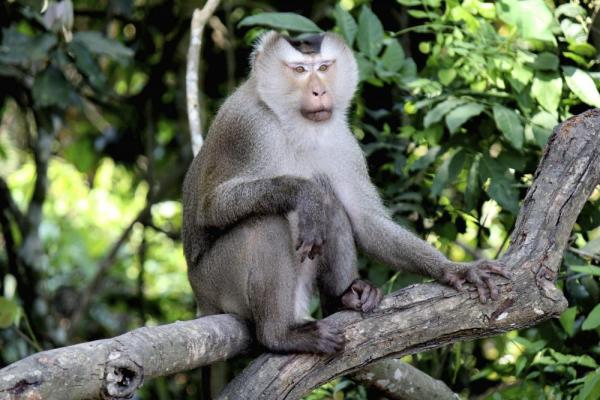 A macaque monkey in Thailand
