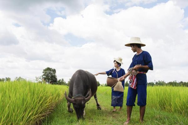 Thai farmers with water buffalo