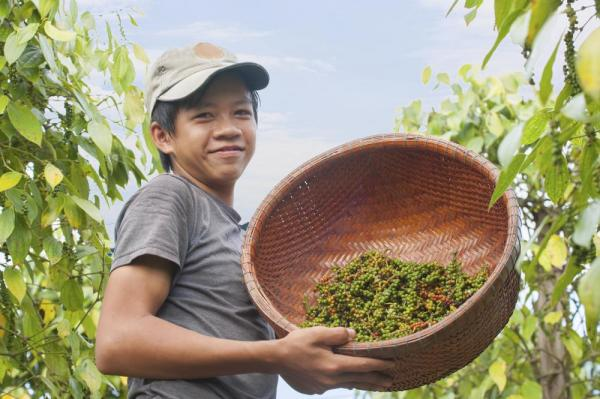 Vietnames boy collecting peppers