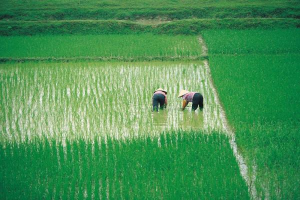 Vietnamese workers in rice paddy