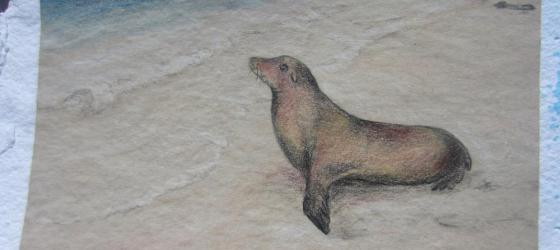 Colored pencil drawing of Galapagos sea lion