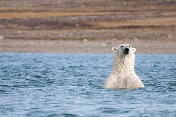 A swimming polar bear