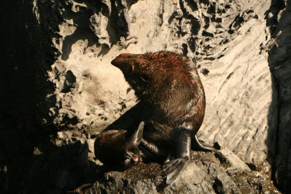 Galapagos fur sea lion