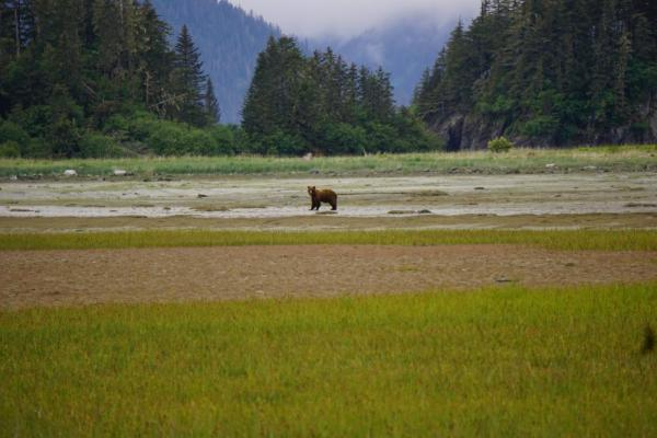 Brown bear near Fern Harbor.