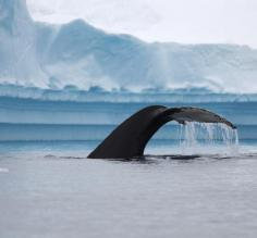 Whale sighting in Polar waters!