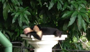 Napping Capuchin Monkeys