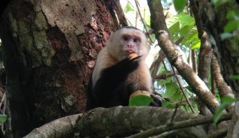 Capuchin eating a mango