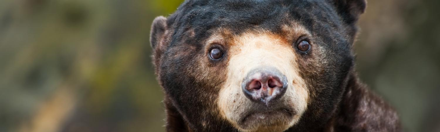 Sun bear of Southeast Asia
